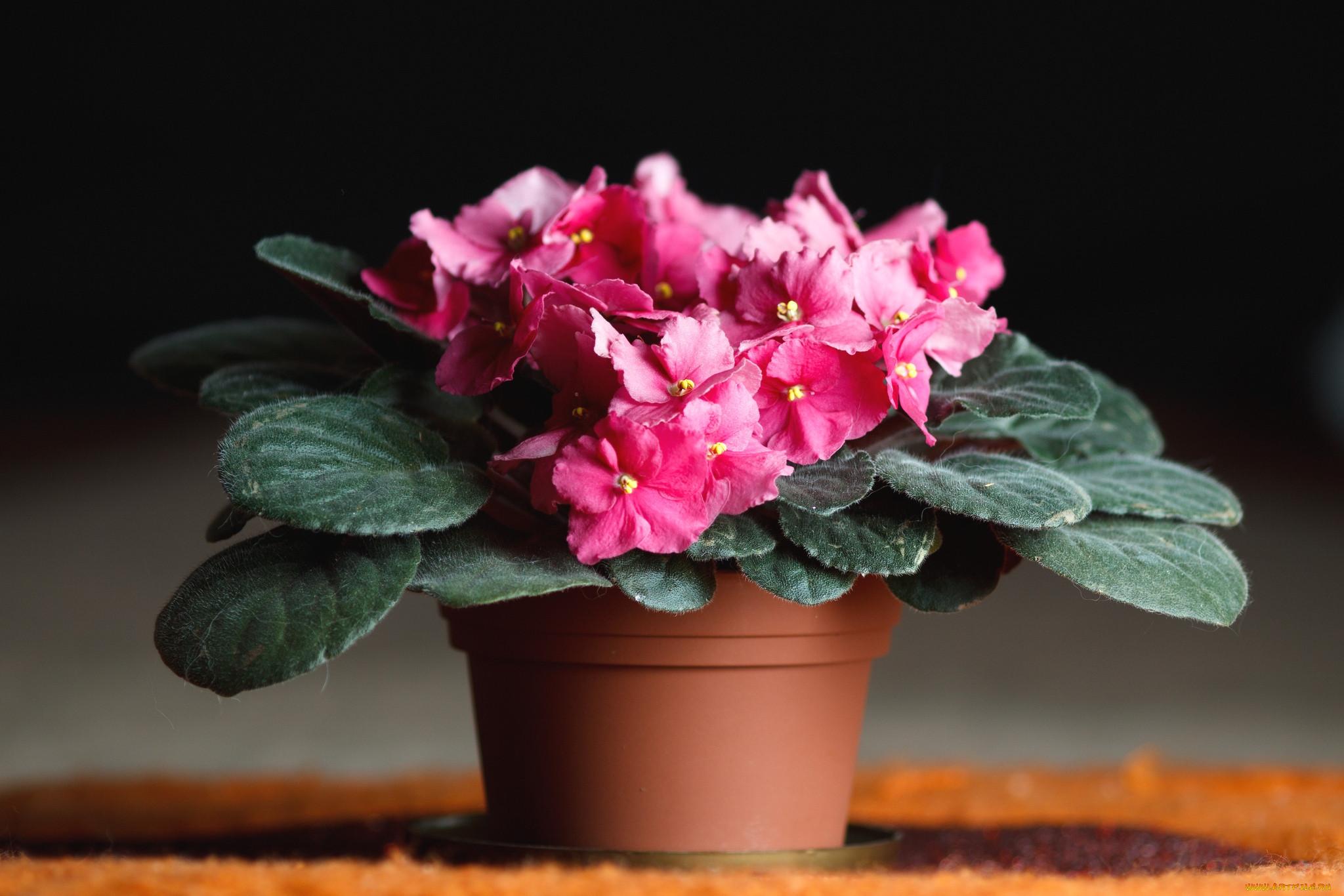 Комнатные растения картинки фиалка